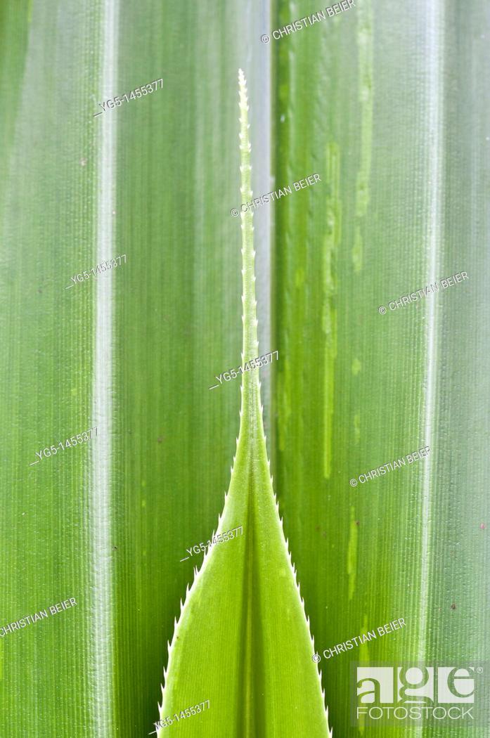 Stock Photo: Pandanus or Screw Pine, Pandanus dubius, leaf shoot.