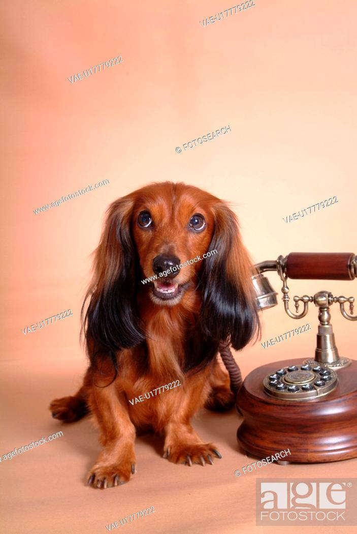 Stock Photo: canines, dachshund, domestic, telephone, long-haired, dog.