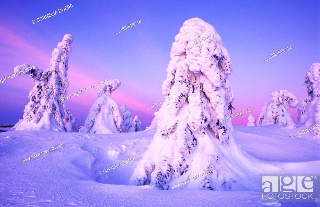 Stock Photo: Snow-covered spruce trees at sunset, Ore Mountains, Saxony, Germany.