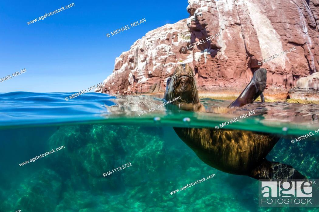 Stock Photo: California sea lion (Zalophus californianus), half above and half under at Los Islotes, Baja California Sur, Mexico, North America.