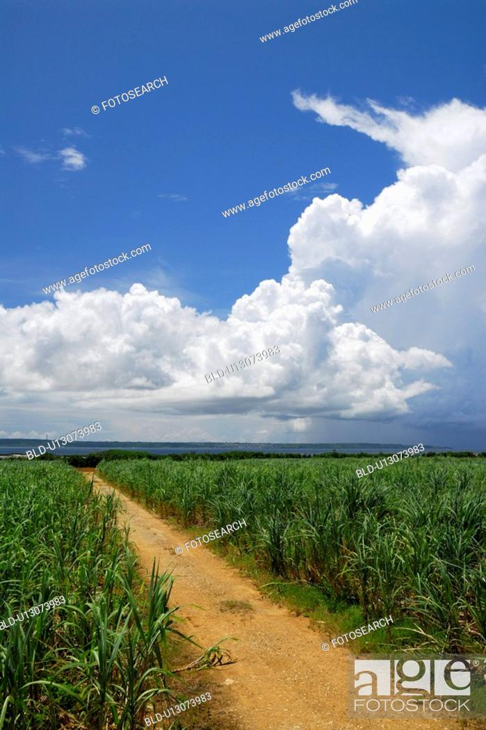 Stock Photo: Cloud and cane field.