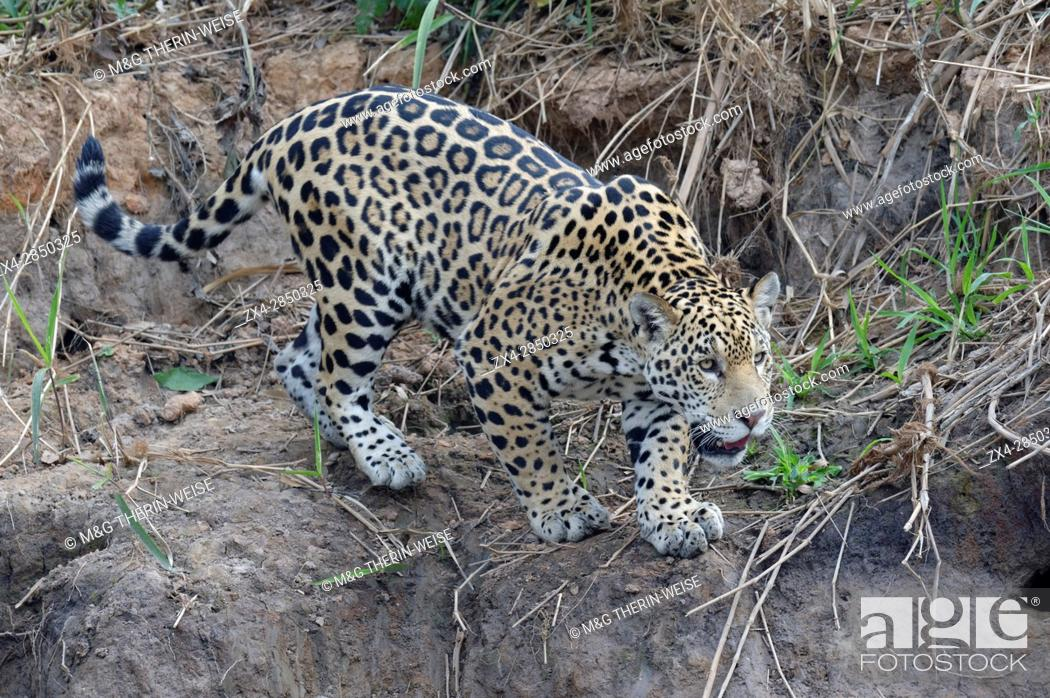 Stock Photo: Young jaguar (Panthera onca) stalking on riverbank, Cuiaba river, Pantanal, Mato Grosso State, Brazil.