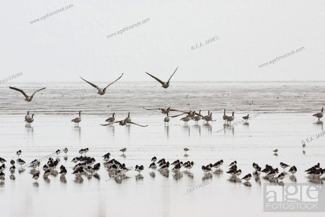 Stock Photo: The Wash. Wild Geese and Shore Birds. Norfolk, UK,.