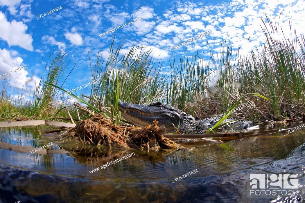 Stock Photo: American alligator sunning himself.