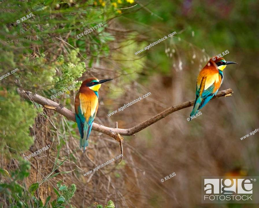Stock Photo: Bee eater birds (Merops apiaster) in various postures.
