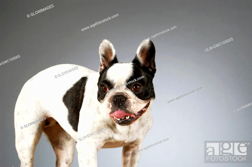 Stock Photo: Close-up of a Boston Terrier sticking out its tongue.