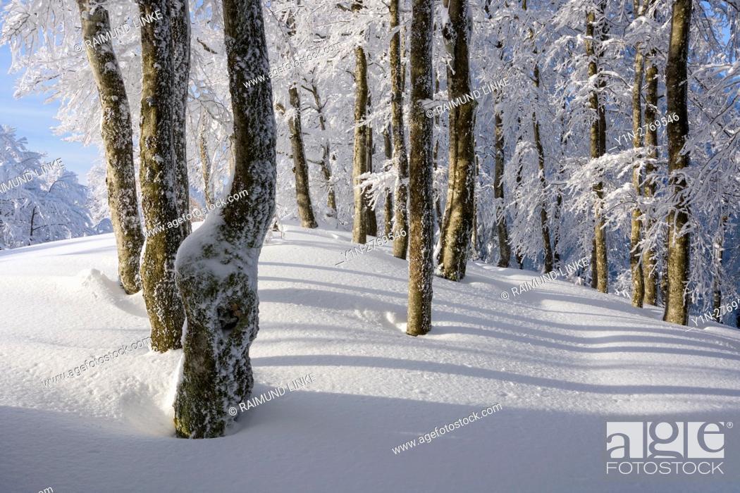 Photo de stock: Snow covered beech forest in winter, Schauinsland, Black Forest, Freiburg im Breisgau, Baden Wurttemberg, Germany.