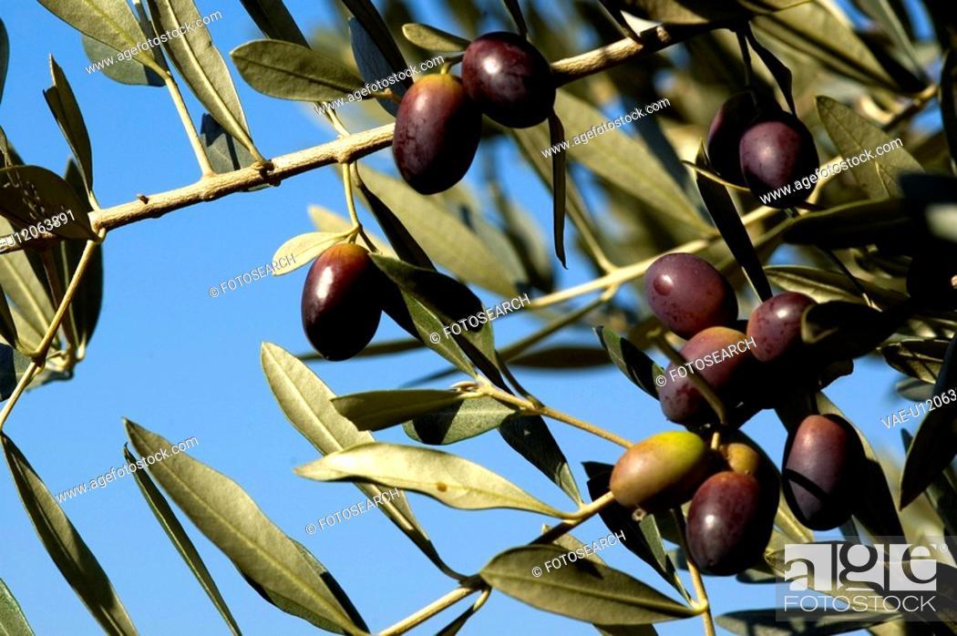 Stock Photo: olive, tree, mediterranean, green, sunny, natural, nature.