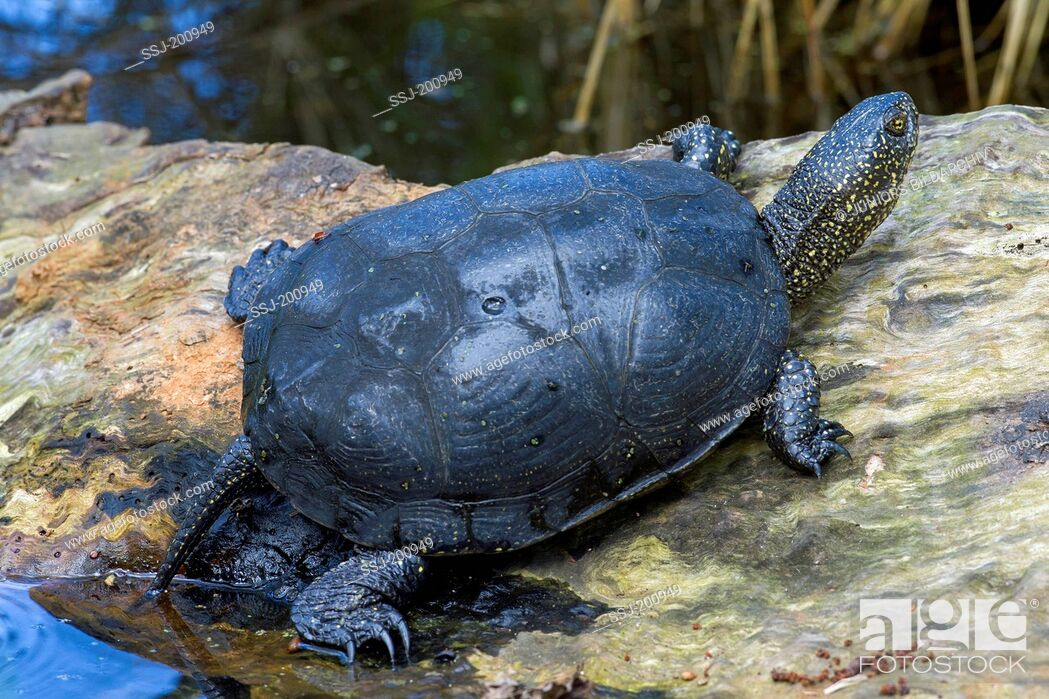 Imagen: European Pond Turtle (Emys orbicularis) resting on a rock. Germany.