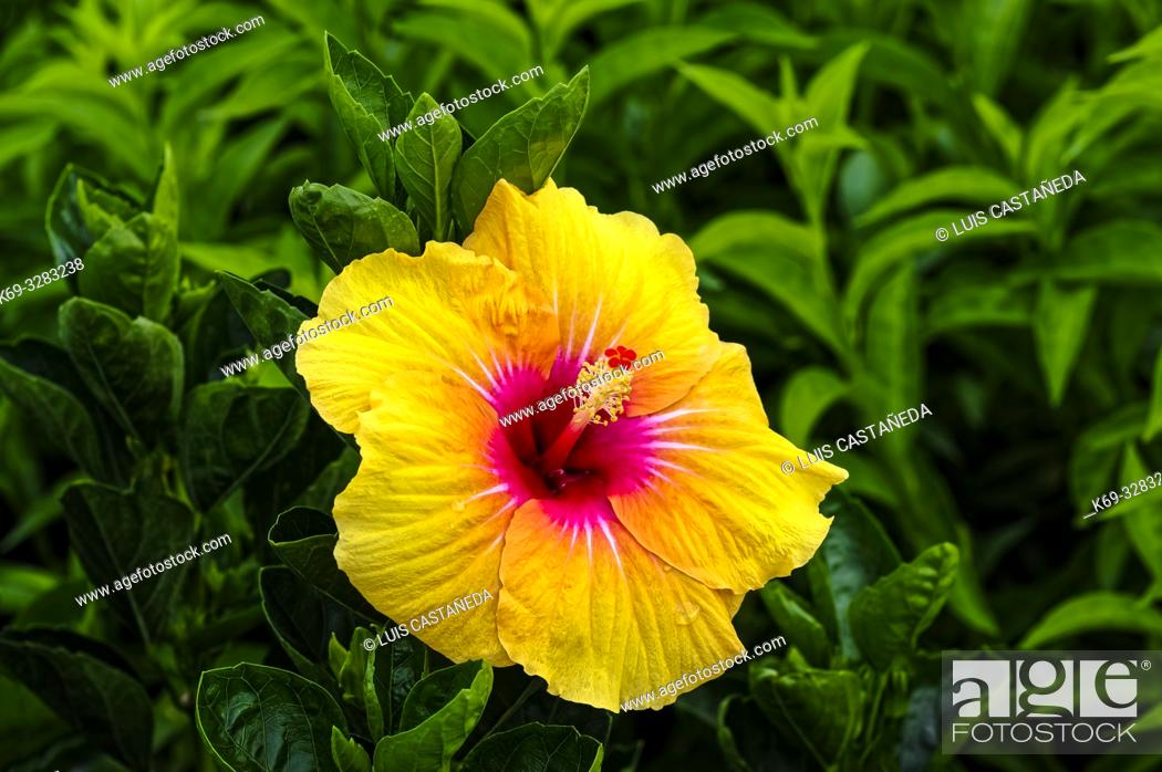 Stock Photo: Hibiscus is a genus of flowering plants in the mallow family, Malvaceae. The genus is quite large, comprising several hundred species that are native to warm.