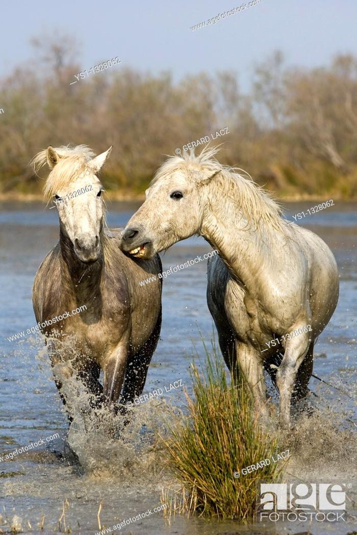 Stock Photo: CAMARGUE HORSE, PAIR STANDING IN SWAMP, SAINTES MARIE DE LA MER IN THE SOUTH OF FRANCE.