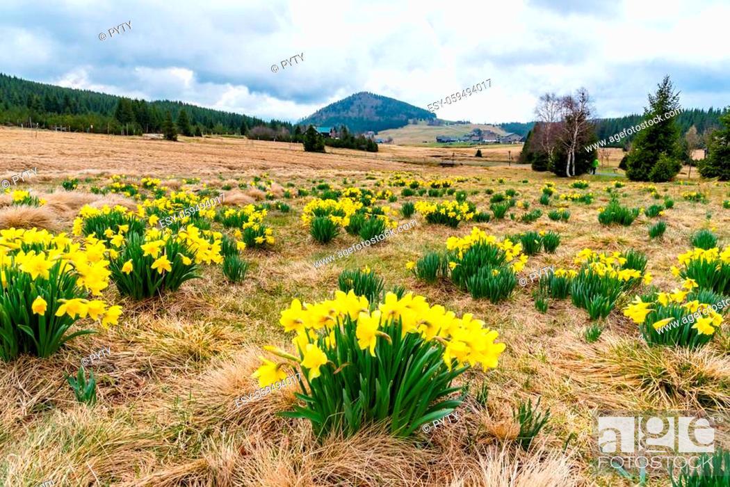 Stock Photo: Wild yellow Narcissus on the mountain meadow and Bukovec hill on background. Jizerka village, Jizera Mounains, Czech Republic.