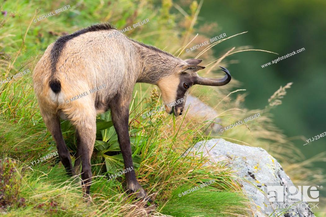 Stock Photo: Chamois (Rupicapra rupicapra), Male, Hohneck, Vosges, Alsace, France.