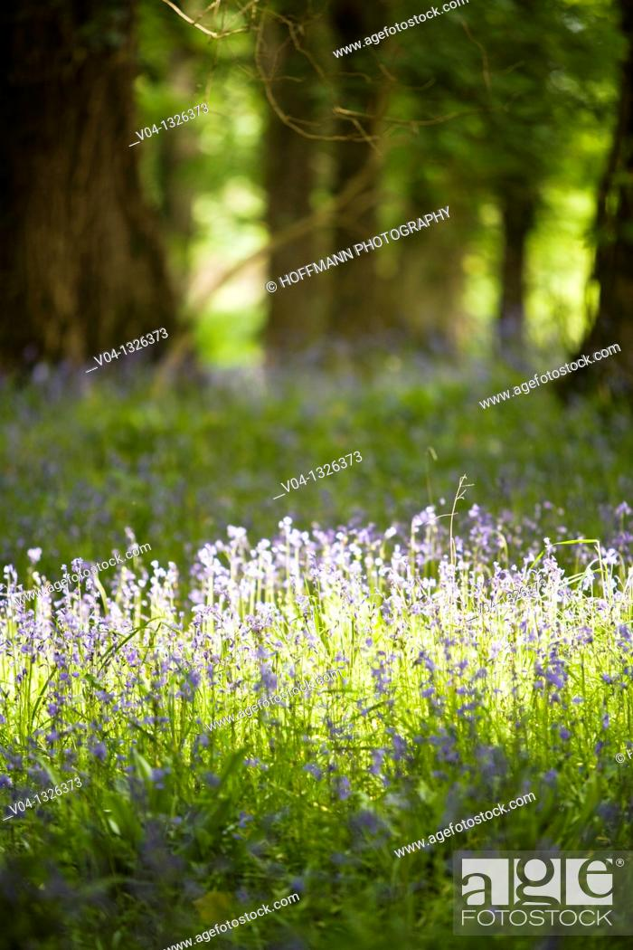 Stock Photo: Bluebells in the forest of Muckross House, County Kerry, Ireland, Europe.