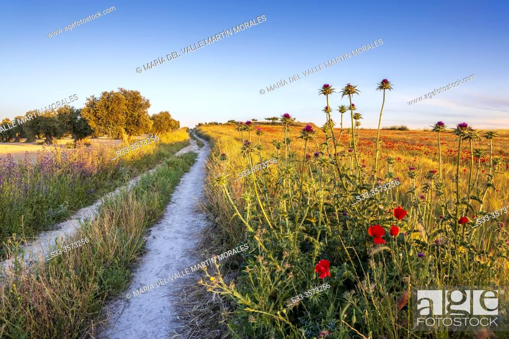 Stock Photo: Silybum marianum and olive trees at The Pantoja path, early in the morning. Pinto. Madrid. Spain. Europe.