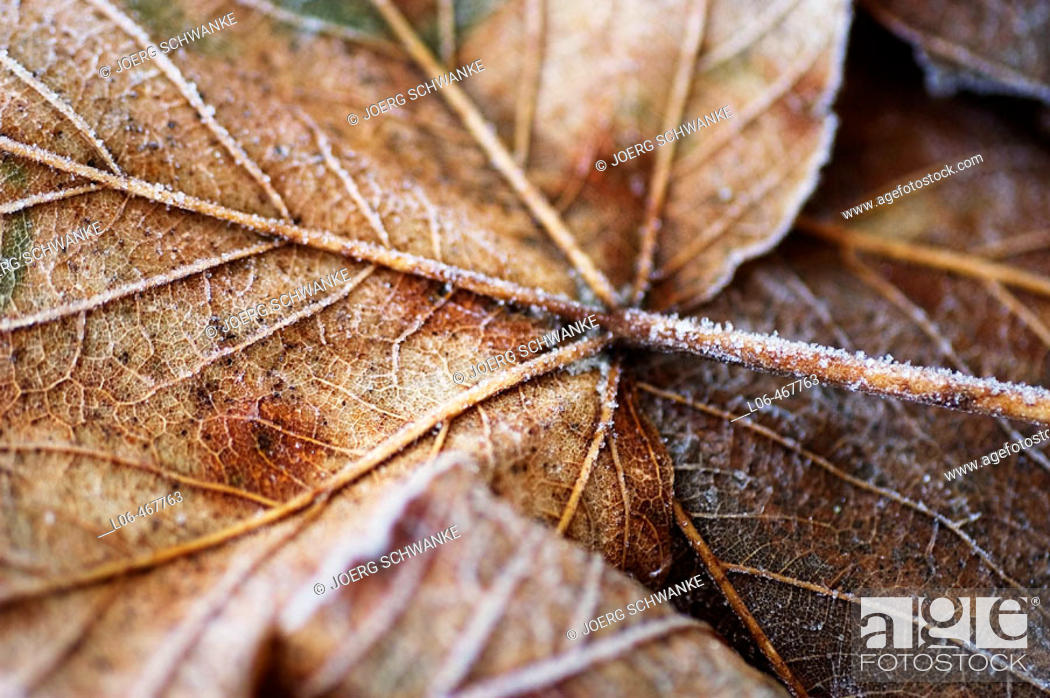 Stock Photo: Fallen leaf with hoarfrost.