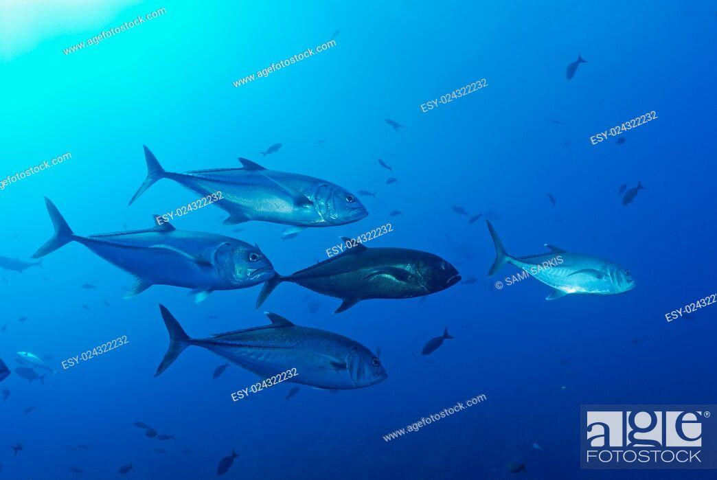 Stock Photo: School of Bigeye Jack fishes (caranx sexfasciatus), Ecuador, Galapagos archipelago, Wolf Island, Pacific Ocean.