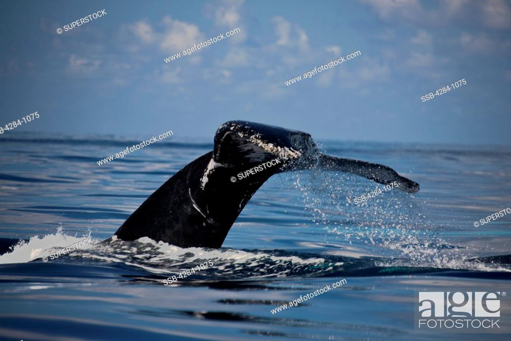 Stock Photo: Humpback whale Megaptera novaeangliae breaching in the ocean, Turks and Caicos Islands.
