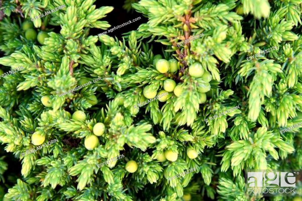 Photo de stock: Background from juniper.