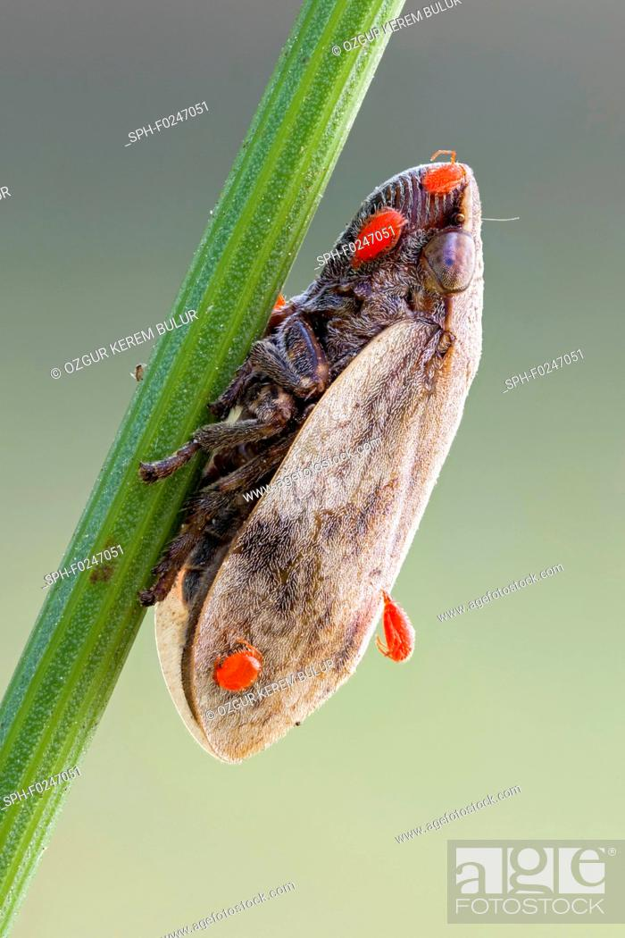 Stock Photo: Frog hopper (Aphrophoridae) and a few parasitic red mite (Erythraeidae) nymphs on it.