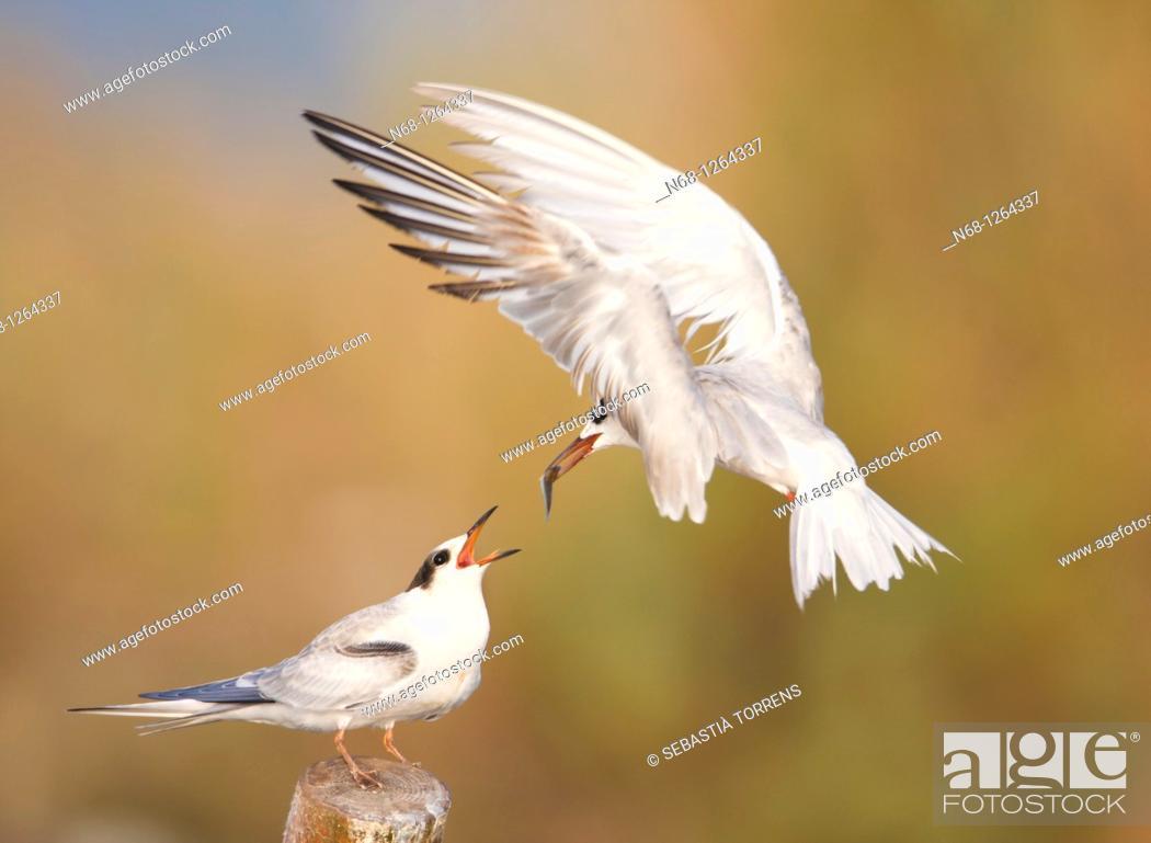 Stock Photo: Adult feeding a young Common Tern Sterna hirundo at S'Albufera, Majorca, Spain.