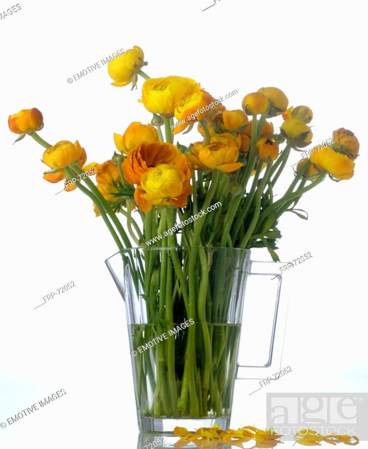 Stock Photo: Ranunculus in a glass pitcher.