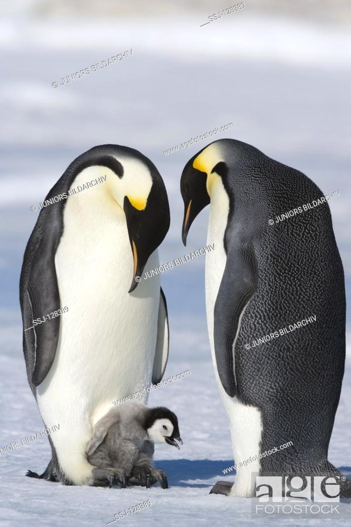 Stock Photo: emperor penguins with cub - Aptenodytes forsteri.