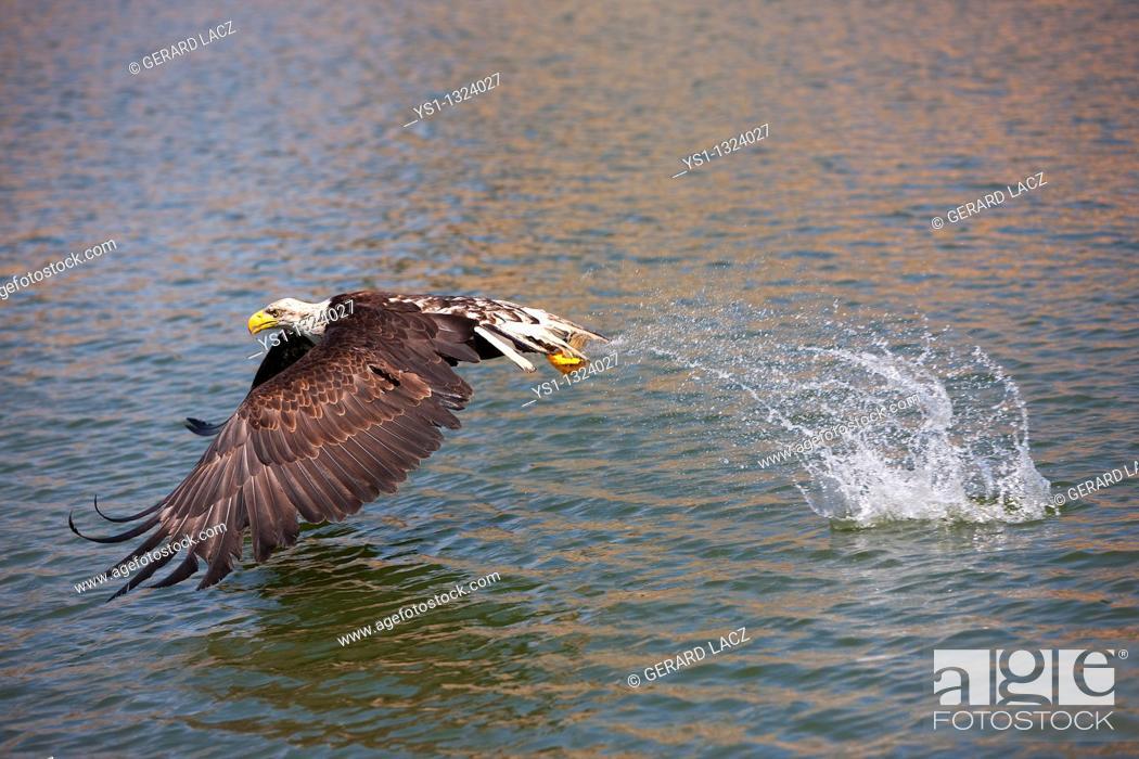 Stock Photo: BALD EAGLE haliaeetus leucocephalus, JUVENILE FISHING IN LAKE.