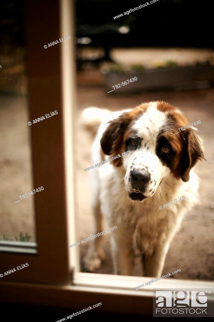 Stock Photo: Saint Bernard dog.