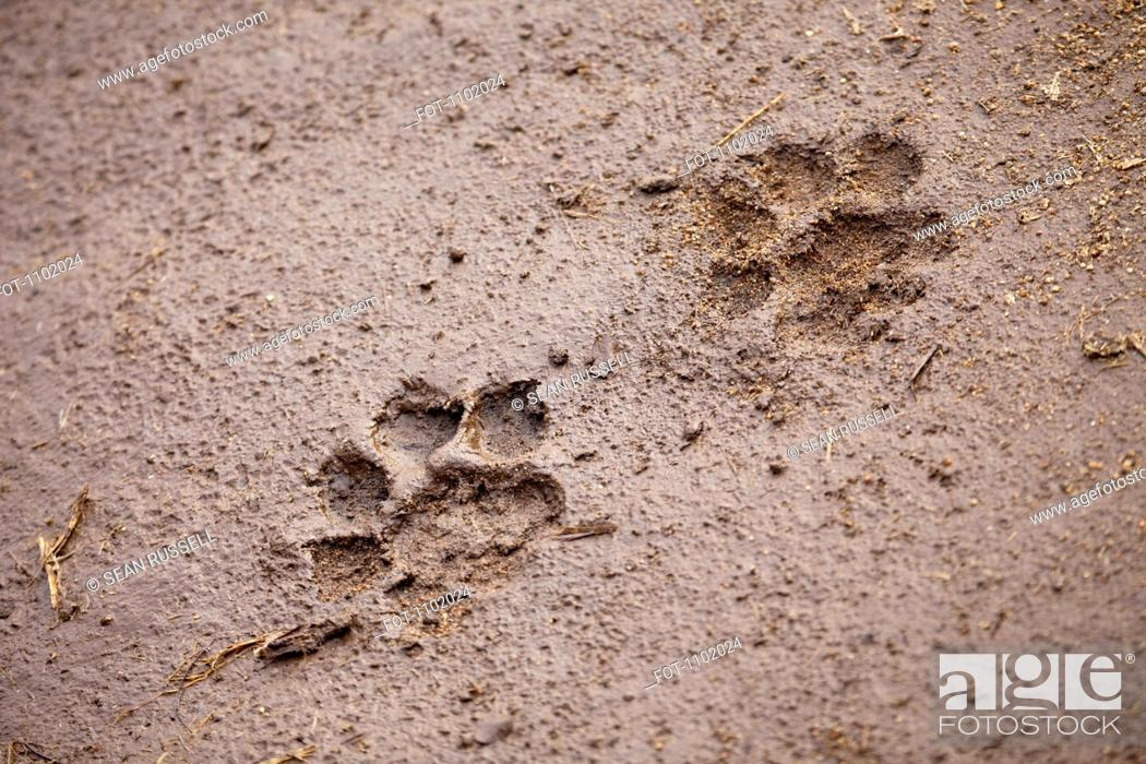 Stock Photo: A pair of lion paw prints, close-up.