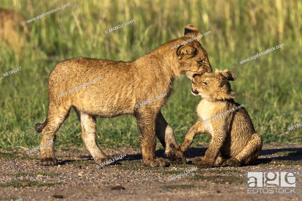 Stock Photo: Lion cubs play fighting, Masai Mara National Reserve, Kenya.
