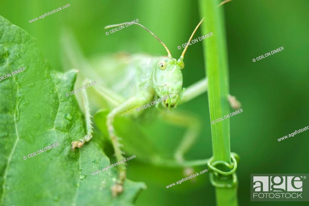 Stock Photo: Grasshopper perched on leaf.