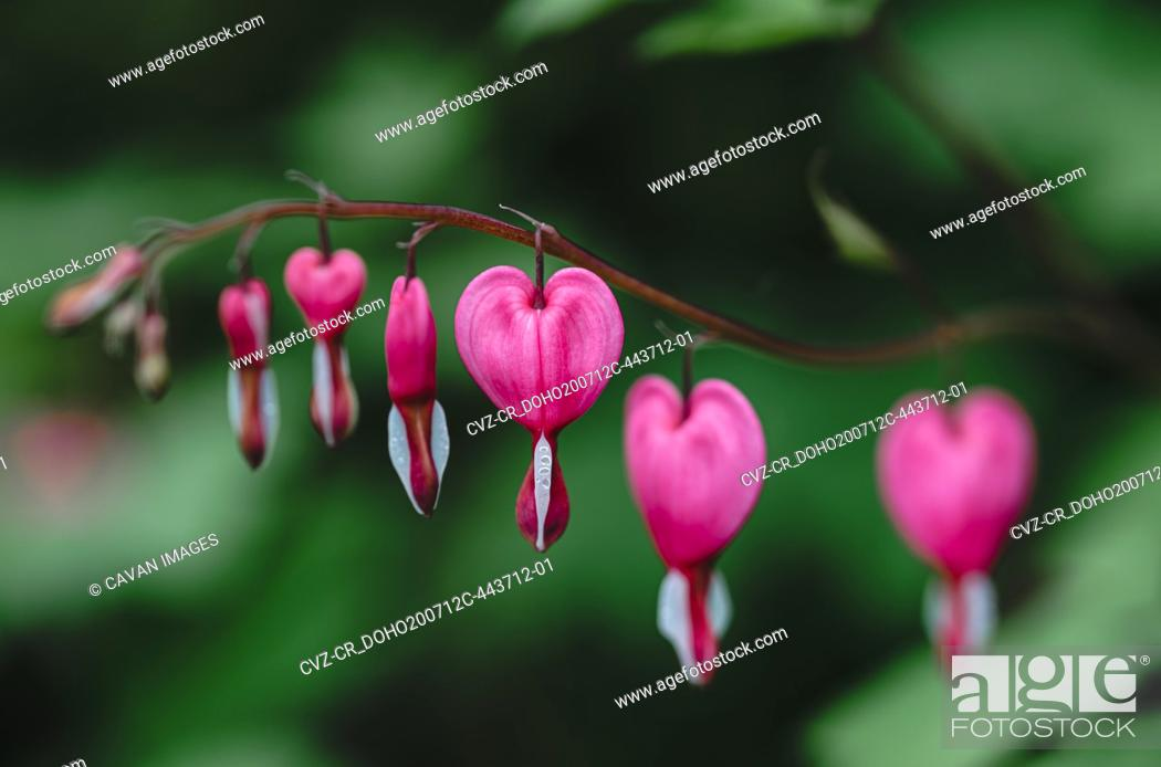 Stock Photo: Close up of pink and white bleeding heart flowers in bloom.