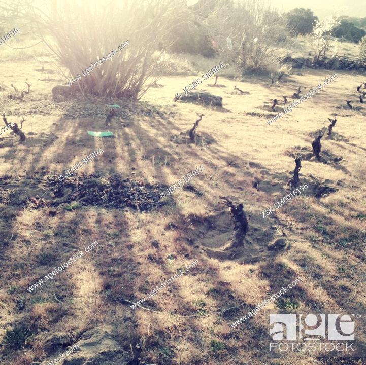 Imagen: Vine fields, Autumn in Navaluenga, Avila province, Castile León, Spain.