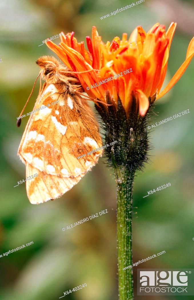 Stock Photo: Weaver's Fritillary (Clossiana dia). La Vanoise, France.