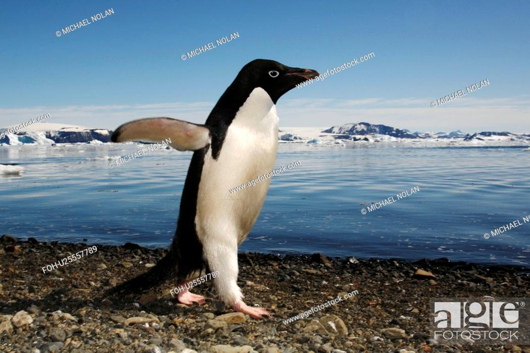 Imagen: Adult Adelie penguin Pygoscelis adeliae walking the beach to return to the sea on Devil Island on the Northeast side of the Antarctic Peninsula.