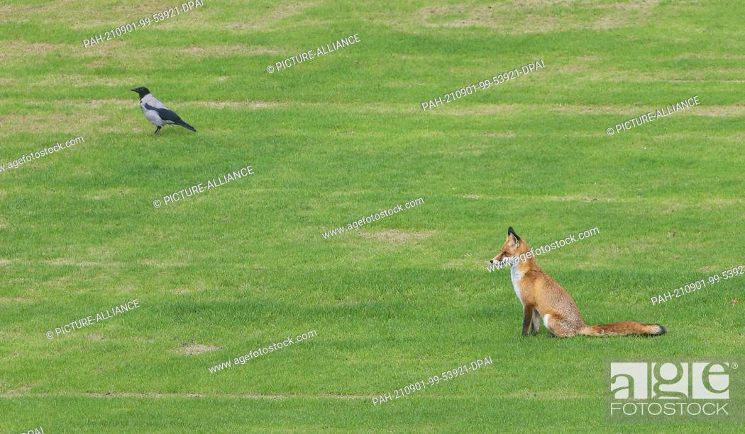 Stock Photo: 01 September 2021, Berlin: A red fox and a hooded crow sit on the lawn of the garden of Bellevue Palace, the official residence of the Federal President.