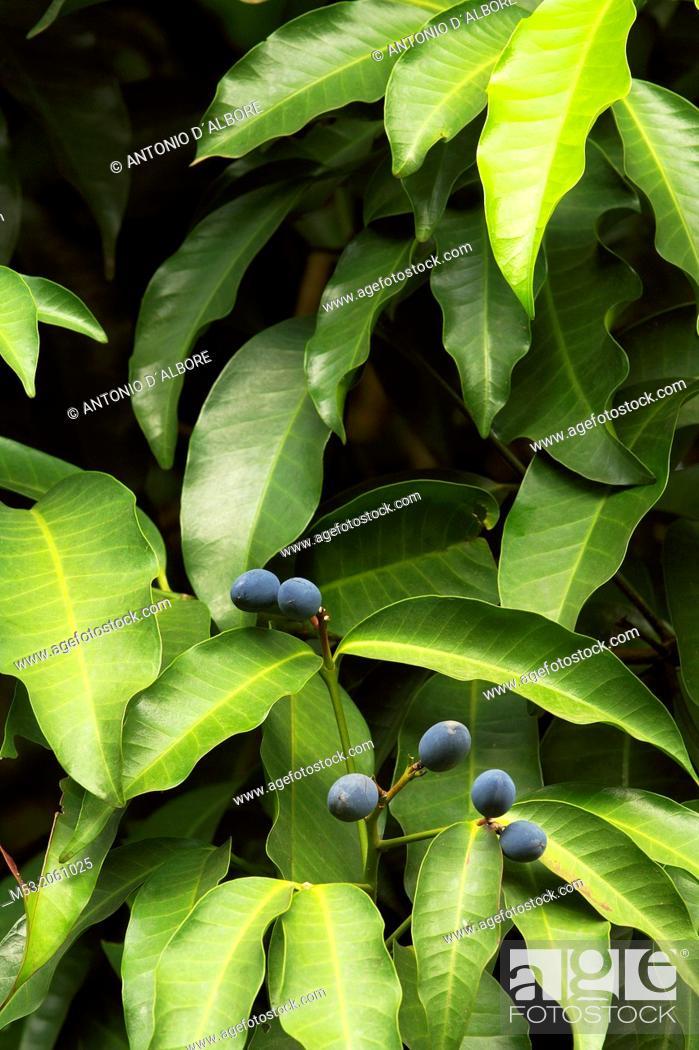 Stock Photo: Berries of kopsia arborea blume. bogor botanical garden. bogor city. west java. indonesia. asia.