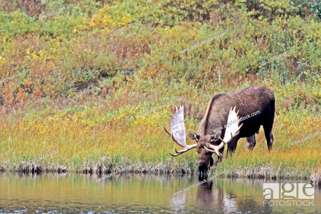 Stock Photo: Elche koennen Heu nicht verdauen, dadurch ist die Haltung in Gefangenschaft sehr schwierig - (Alaska-Elch - Foto Elchschaufler an einem Tundrasee) / Moose.