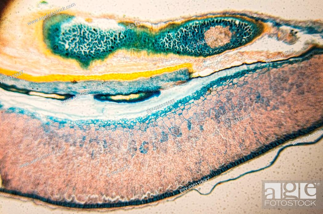 Stock Photo: Structure and properties of cambial cells - observation in the microscope.
