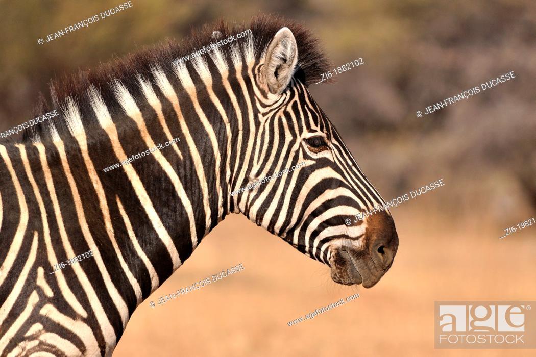 Stock Photo: Burchell's zebra, Equus burchelli, close-up, Marakele National Park, Limpopo, South Africa.