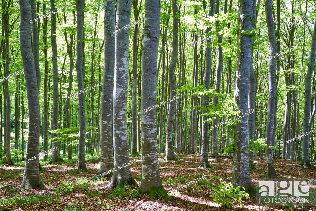 Stock Photo: Wood, deciduous forest, Buchenwald, Fagetum, Fagus sylvatica, spring, timber forest.