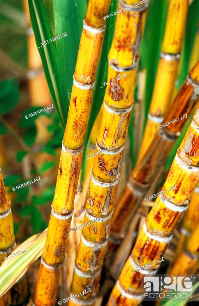 Stock Photo: SUGAR CANE IN HAWAII.