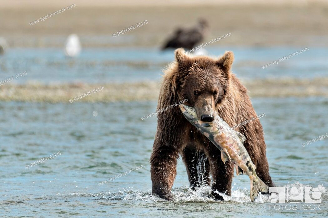 Stock Photo: A brown bear sub-adult catches a salmon in the lower lagoon at the McNeil River State Game Sanctuary on the Kenai Peninsula, Alaska.