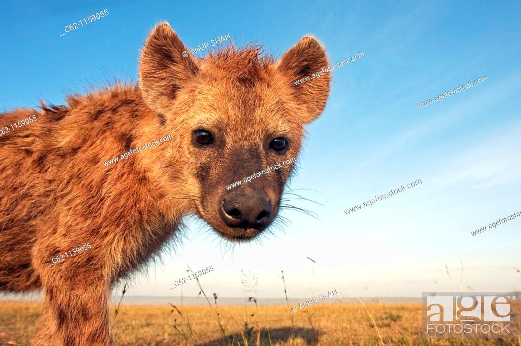 Stock Photo: Spotted hyena (Crocuta crocuta) adolescent approaching with curiosity -wide angle perspective-, Maasai Mara National Reserve, Kenya.