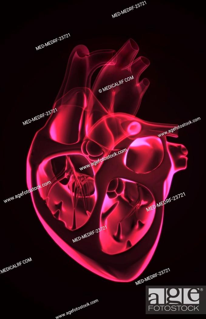 Stock Photo: Sectional anatomy of the heart.