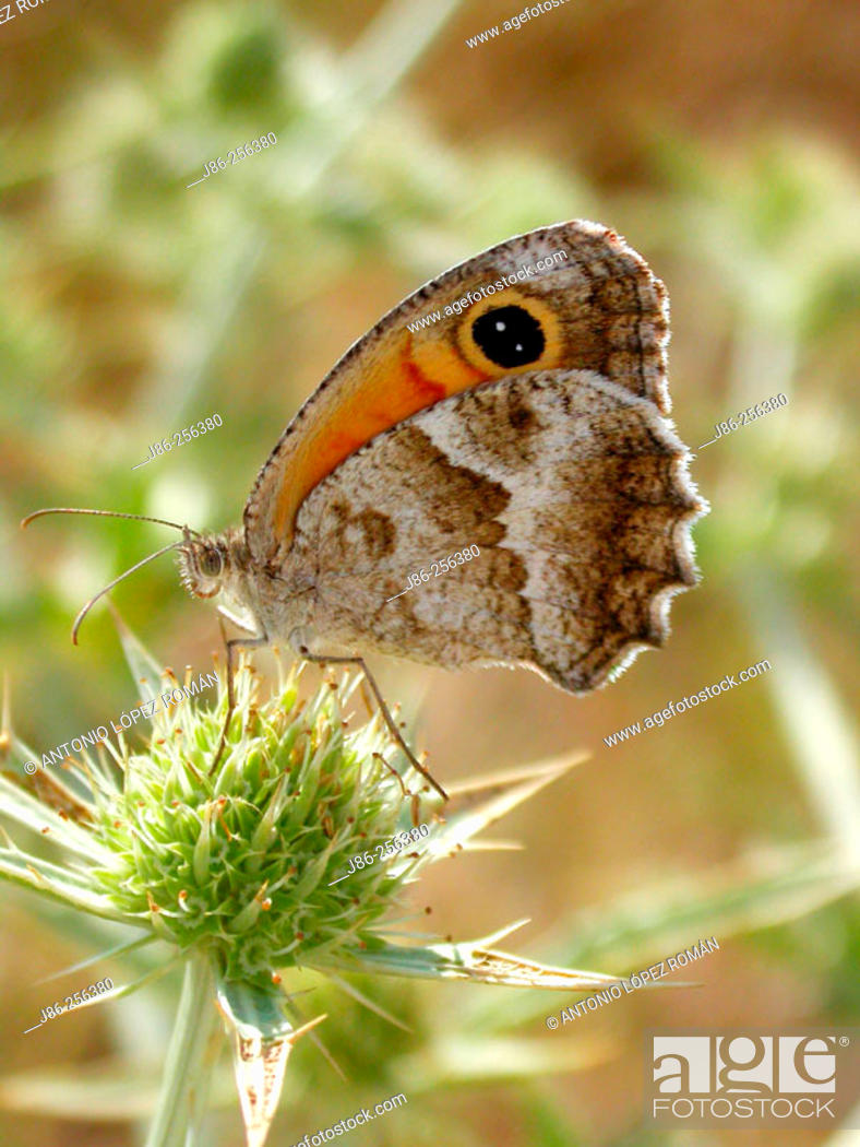 Stock Photo: Meadow brown butterfly (Maniola jurtina).