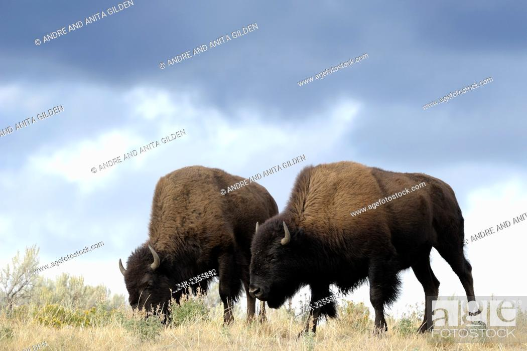 Stock Photo: Two Buffalo (Bison bison) walking in high grass, groundlevel, with storm clouds behind, Yellowstone national park, United states.