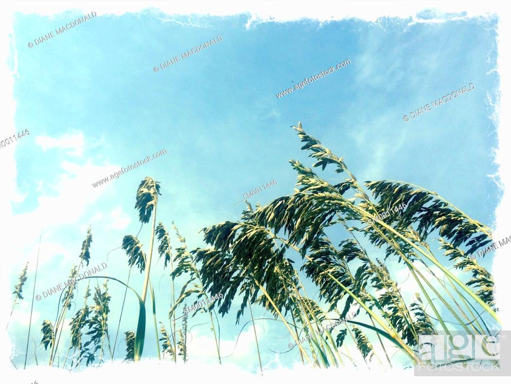 Stock Photo: Protected sea oats the beach, Ponte Vedra Beach, Florida, USA.