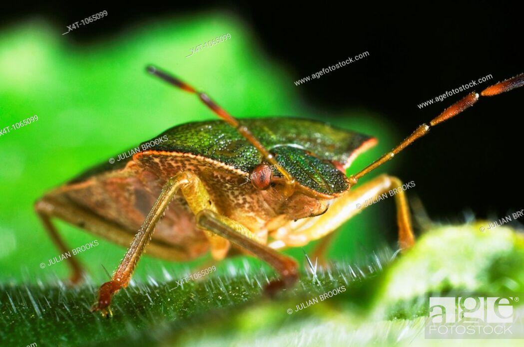 Stock Photo: Green shieldbug on leaf  Palomina Prasina, Order Hemiptera sub order Heteroptera Family Acanthosomidae.